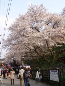奈良・吉野の桜